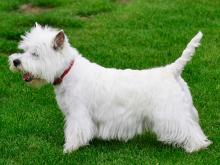 west highland white terrier ebszemle